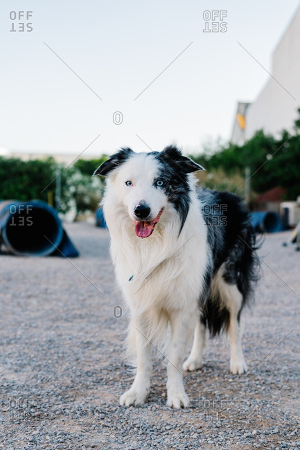 Adorable fluffy Border Collie dog standing on ground and resting after agility training in park with special equipment