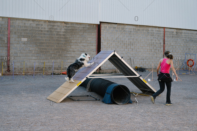 Obedient purebred Border Collie dog running up on A frame during agility training with unrecognizable female instructor