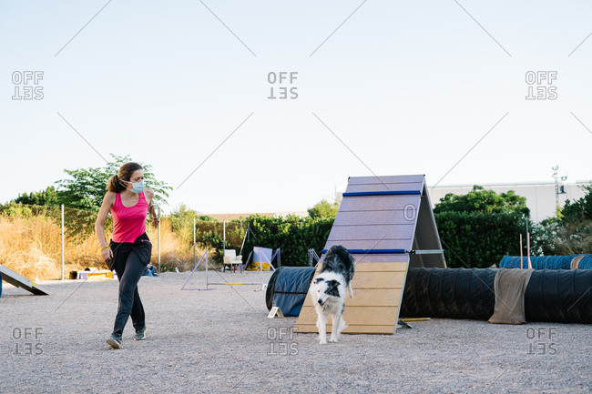 Obedient purebred Border Collie dog running up on A frame during agility training with female instructor wearing protective face mask