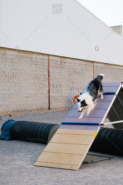 Obedient purebred Border Collie dog running up on A frame during agility training
