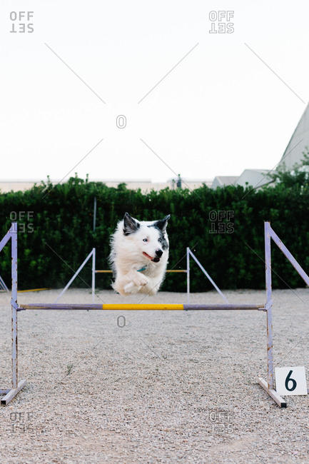 Border Collie dog jumping over hurdle with number during agility training on court