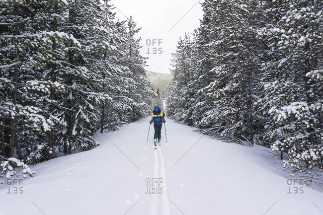 Rear view of female hiker splitboarding on snow covered land amidst trees