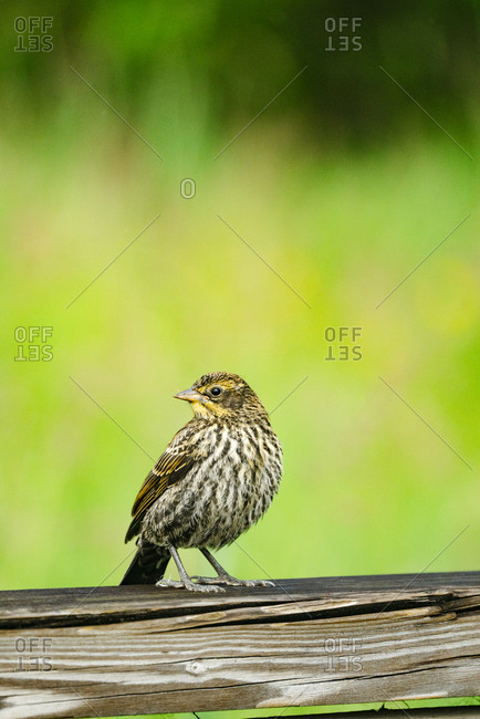Side view of a sparrow on a ledge with a colorful background
