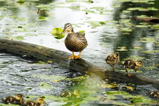A female duck with two ducklings standing on a log in a pond