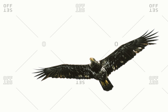 An immature bald eagle soaring across a clear sky