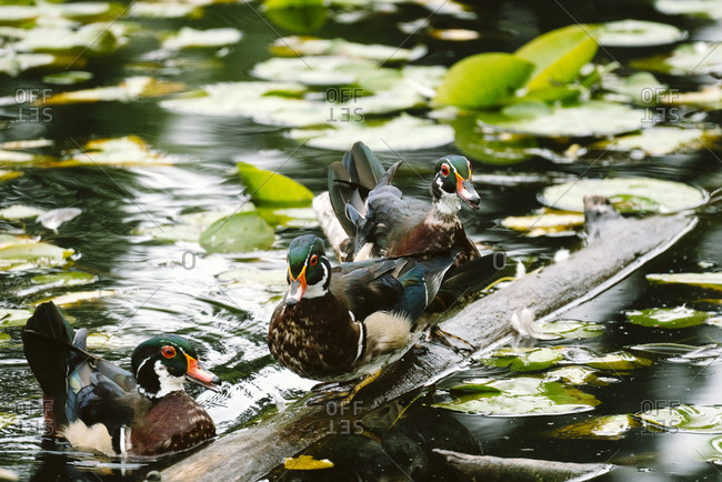 Threw wood ducks on a floating log in a pond