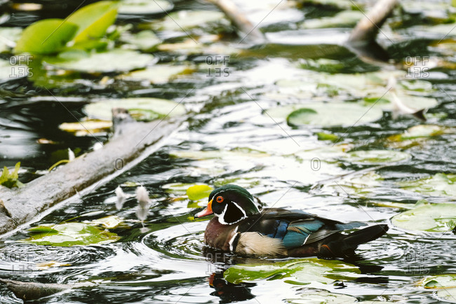 Side view of a male wood duck swimming on a pond