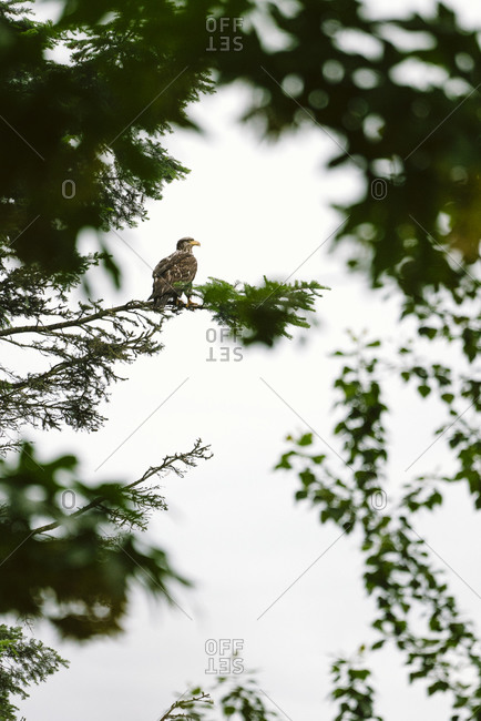 View through the trees of a bald eagle resting on a tree branch