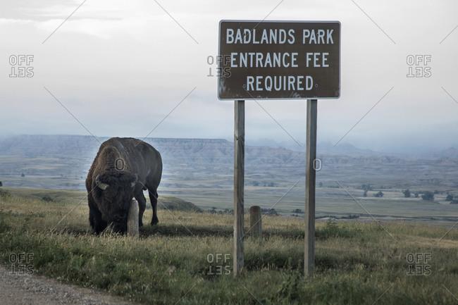 A Roaming Bison Badlands Park