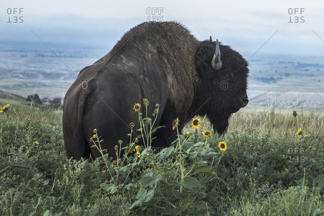 Bison in Badland National Park in Flowers