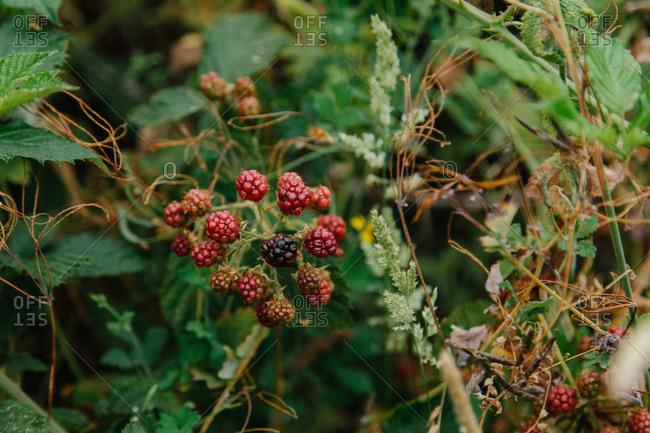 Branch of ripe blackberries in a garden