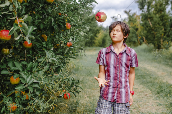 A boy stands in an apple orchard tossing up a red apple on a sunny day