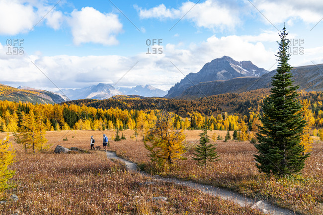 Hiking Through Larches During Autumn in Healey Pass Banff