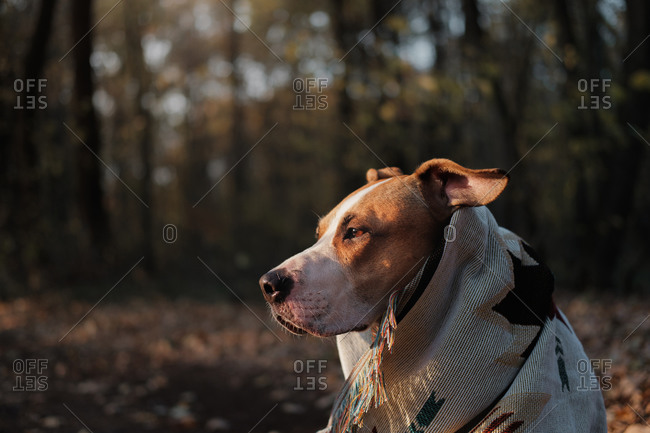 Staffordshire terrier dog in blanket in the autumn forest