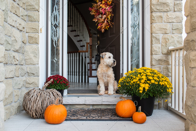 Soft coated wheaten terrier dog sitting in doorway of home in the fall