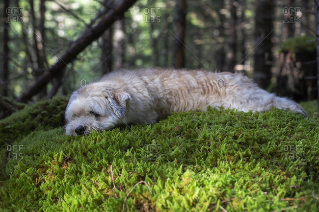 A white dog lying on some moss in the woods