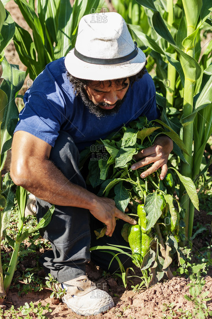 Colombian man collecting food from the garden.