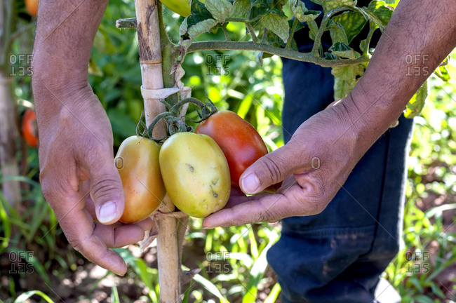 Two hands of a Colombian picking tomatoes.