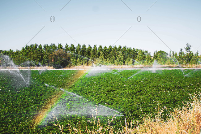 Sprinklers forming a rainbow in a field of planted vegetables