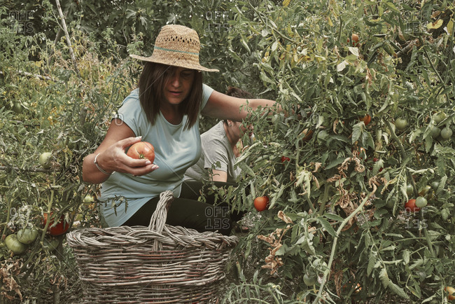 two middle-aged women pick tomatoes from the orchard