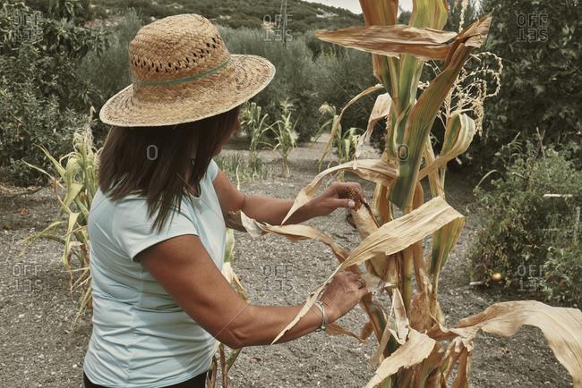 A woman harvesting ears of corn in her urban garden