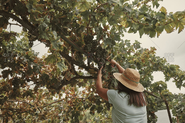 A woman in a hat picking bunches of grapes from her garden