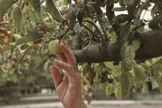 An old woman's hand picking fruit from the tree