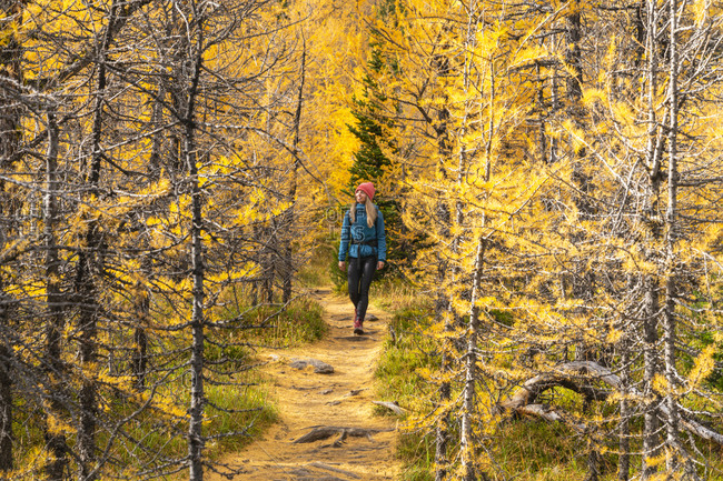Female Hiker Walking Through Fall Larches in Paradise Valley