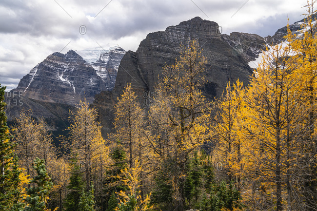Mount Temple Behind Golden Larches of Paradise Valley in Autumn