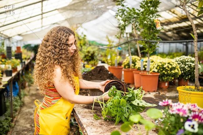 Young blonde adult woman with curly hair and a yellow apron transposing a plant (monstera adansonii little) into a new pot