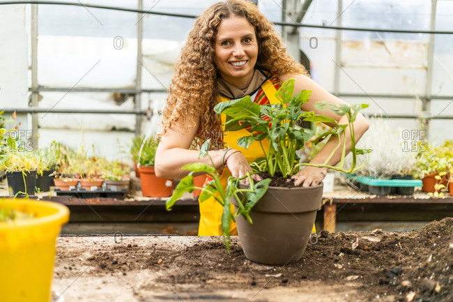 Young blonde adult woman with curly hair and a yellow apron transposing a plant (monstera adansonii little) into a new pot, front view and smiling looking at camera