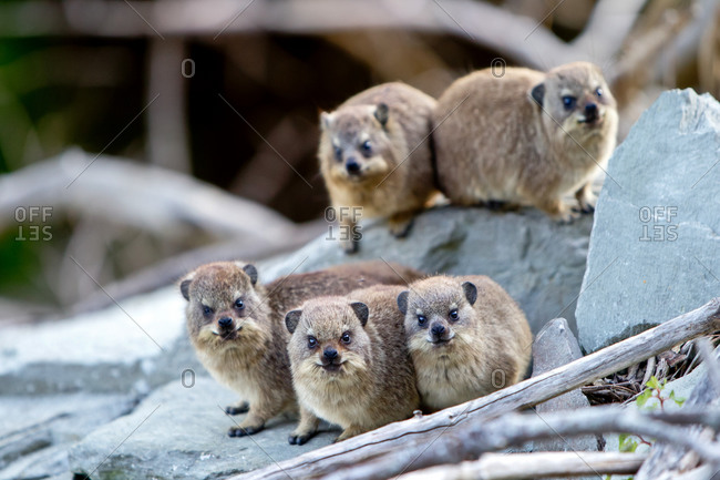 A group of dassies in the Tsitsikamma National Park