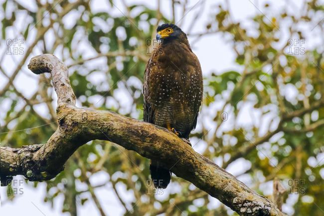 Crested serpent eagle (Spilornis cheela davisoni), medium-sized bird of prey, in scenic Wayanad district, Wayanad, Kerala, India, Asia