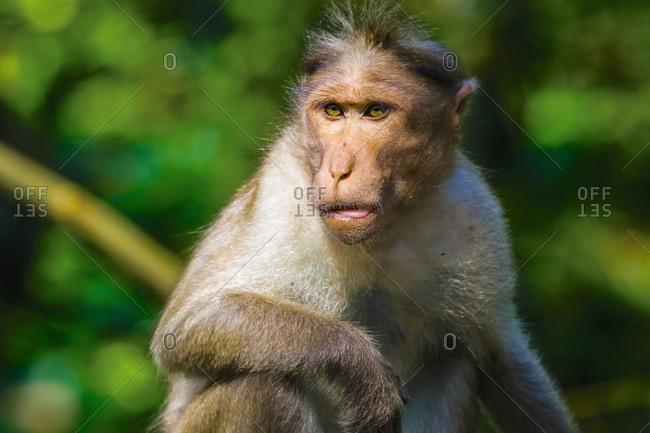 Long-tailed macaque monkey near the Edakkal Caves, where tourist contact has made them tame, Edakkal, Wayanad, Kerala, India, Asia
