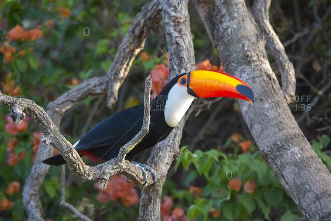 Toco toucan (Ramphastos toco), Pantanal, Mato Grosso do Sul, Brazil, South America