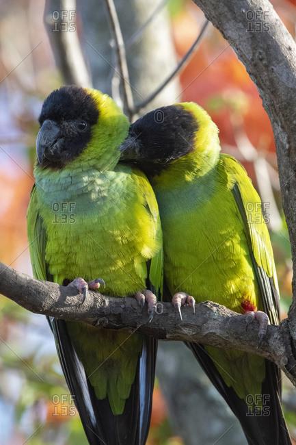 Nanday Parakeet (Aratinga nenday), Pantanal, Mato Grosso do Sul, Brazil, South America