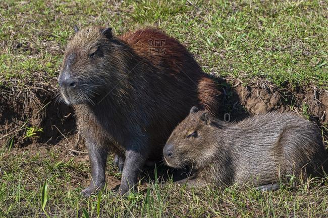 Capybara (Hydorchaeris hydrochaeris), Pantanal, Mato Grosso do Sul, Brazil, South America