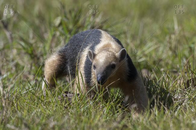 Southern tamandua (Tamandua tetradactyla), Pantanal, Mato Grosso do Sul, Brazil, South America