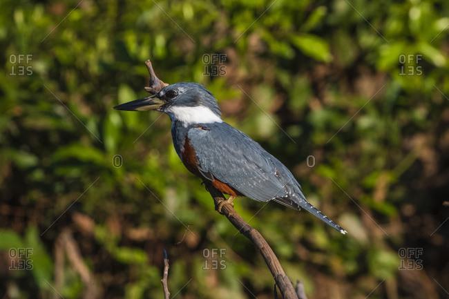 Ringed Kingfisher (Megaceryle torquata), Pantanal, Mato Grosso, Brazil, South America