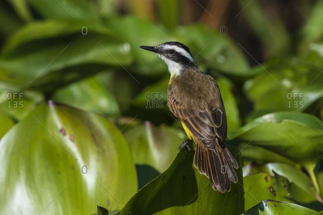 Great kiskadee (Pitangus sulphuratus), Pantanal, Mato Grosso, Brazil, South America