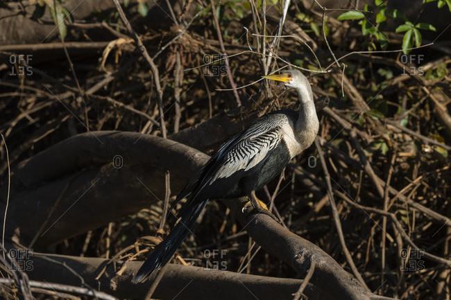 Anhinga (Anhinga anhinga), Pantanal, Mato Grosso, Brazil, South America