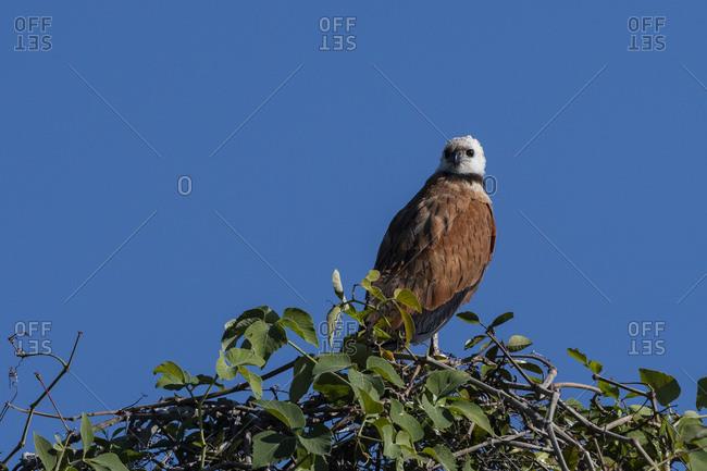 Black-collared hawk (Busarellus nigricollis), Pantanal, Mato Grosso, Brazil, South America