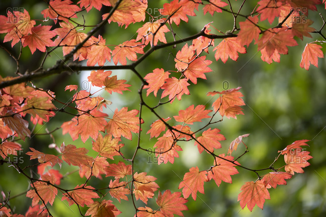 Backlit maple tree leaves in autumnal shades, England, United Kingdom, Europe