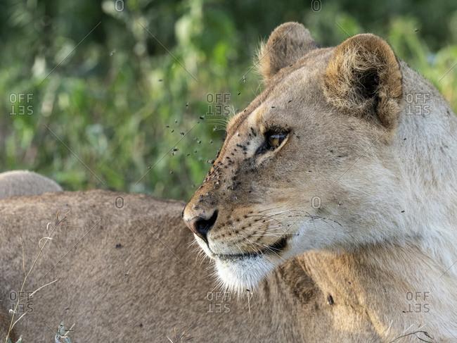 A female lioness (Panthera leo), Serengeti National Park, Tanzania, East Africa, Africa