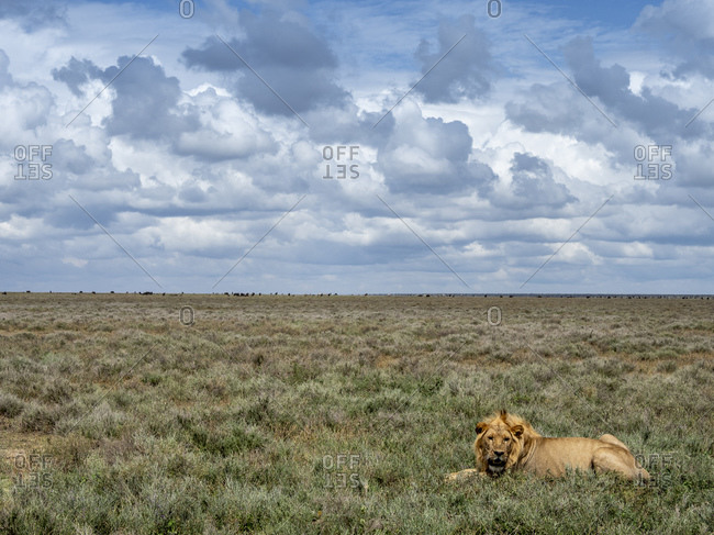 An adult male lion (Panthera leo), Serengeti National Park, UNESCO World Heritage Site, Tanzania, East Africa, Africa