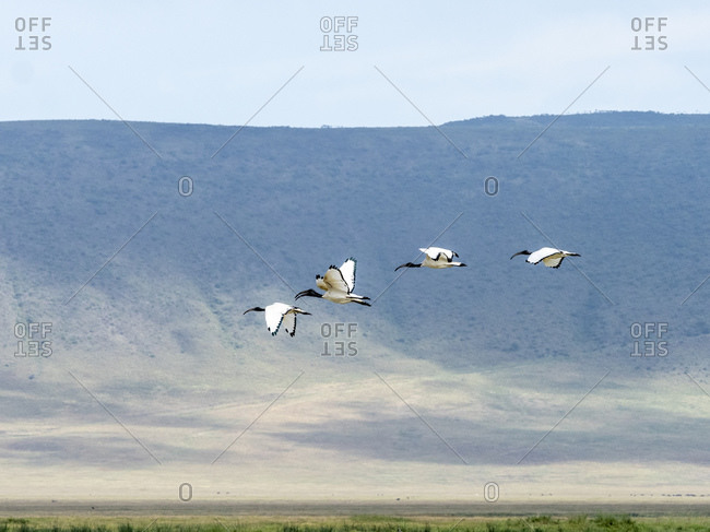 African sacred ibis (Threskiornis aethiopicusi), in flight inside Ngorongoro Crater, UNESCO World Heritage Site, Tanzania, East Africa, Africa