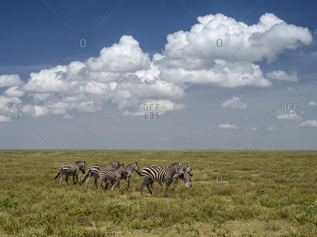 Plains zebras (Equus quagga) in Serengeti National Park, UNESCO World Heritage Site, Tanzania, East Africa, Africa