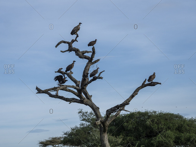 African white-backed vultures (Gyps africanus), Tarangire National Park, Tanzania, East Africa, Africa
