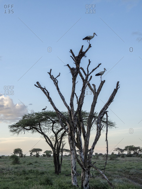 Adult white storks (Ciconia ciconia), Serengeti National Park, Tanzania, East Africa, Africa
