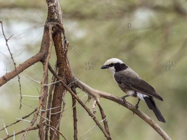 An adult northern white-crowned shrike (Eurocephalus ruppelli), Tarangire National Park, Tanzania, East Africa, Africa